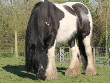 Traditional cob stunning mares toyboy bloodline