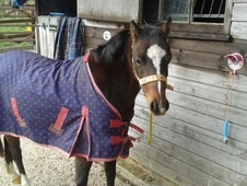 12. 1 hh British Riding Pony