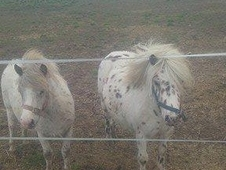 miniature spotted geldings x2
