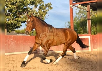 9 year-old - P.R.E. - Gelding - 15.3 hh - Spain