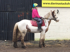 Irish cob - Cobs - 14.1 hh - Norfolk