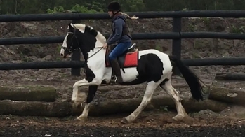 Irish Sports Cob - Cobs - Mare - 15.2 hh - Norfolk