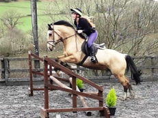9 year-old - Cob - All Rounder - Gelding - 14.2 hh - Powys