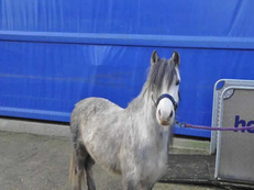 Welsh - For Adoption - 11 hh