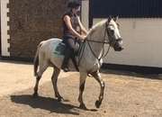 Connemara - All Rounder - Gelding - 15.1 hh - Norfolk