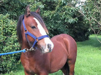 Welsh - For Adoption - Gelding - 11.2 hh - North Yorkshire