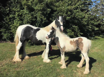 Middleweight - For Adoption - 13 hh - North Yorkshire
