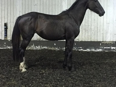 Ruby - 15hh, Rising 5yr old, Irish Sport Horse, Mare
