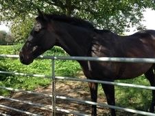 16hh 7 year old thoroughbred gelding