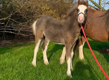 Welsh - For Adoption - Colt - 2018 hh - South East Yorkshire
