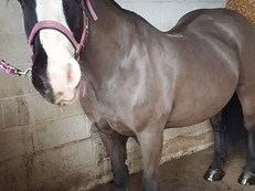 14.2hh cob for sale