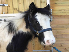 1 year-old - Cob - All Rounder - Filly - 13 hh - Kent