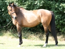 6 year-old - KWPN - All Rounder - Mare - 16. 1 hh - West Yorkshire