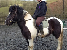 7 year-old - All Rounder - Gelding - 12. 2 hh - Powys