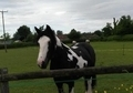 Piebald gelding, 14. 2, 7 years old looking for an experienced home