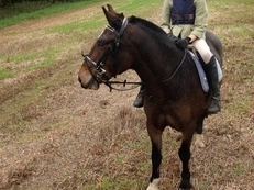 9 year-old - Connemara - Cobs - Mare - 14.3 hh - Norfolk