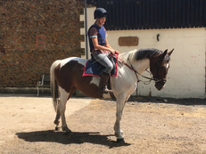 All Rounder - 15 hh - Norfolk
