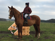 Irish Draught - All Rounder - Gelding - 16. 3 hh - Norfolk