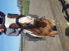 14. 2hh Irish Coloured Cob for sale