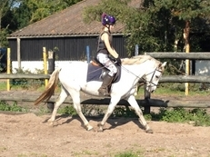 Connemara - All Rounder - 14 hh - Norfolk