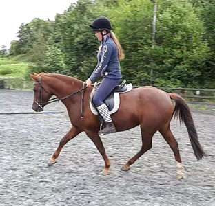 All Rounder - Mare - 13.2 hh - Powys