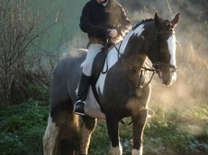 8 year-old - Irish Draught - All Rounder - 17 hh - Norfolk