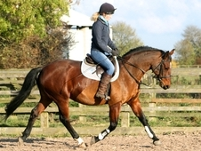9 year-old - ***Breed Unknown*** - All Rounder - Mare - 16 hh - West Yorkshire
