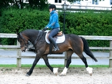 9 year-old - Cob - All Rounder - Mare - 15 hh - West Yorkshire