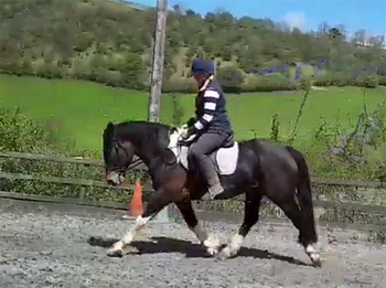 4 year-old - All Rounder - Gelding - 16 hh - Powys