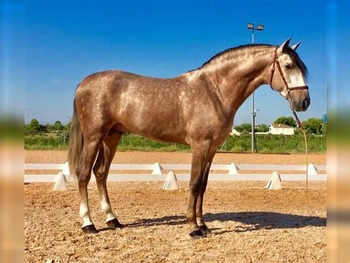 4 year-old - P.R.E. - Stallion - 1644 hh - Spain