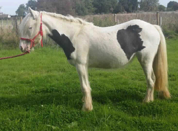 Middleweight - For Adoption - Mare - 13.2 hh - East Kent