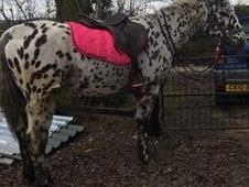15hh 12 Year old Gelding. Easy Project