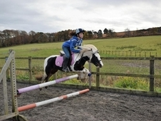 Fantastic 11. 3hh 6yr old mare for sale!
