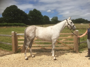 5 year-old - All Rounder - Mare - 2 hh - Oxfordshire