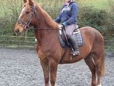 All Rounder horse - 7 yrs 16. 2 hh Chestnut - Powys