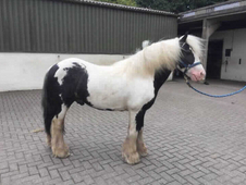 8 year-old - Cob - Cob - ***Gender Unknown*** - 12. 2 hh - Durham