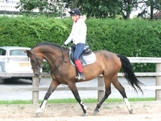 9 year-old - Warmblood - All Rounder - Mare - 16. 2 hh - West Yor...