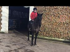 All Rounder horse - 3 yrs 15. 3 hh - Norfolk