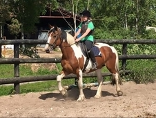Irish cob - Cobs - 15. 3 hh - Norfolk