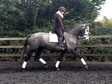 All Rounder horse - 7 yrs 16. 3 hh Dapple Grey - Cambridgeshire