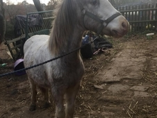 Lovely welsh cob 2 year old filly