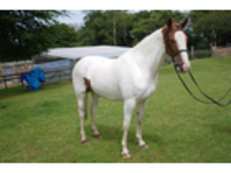 15hh Skewbald mare, 4yrs by Uptons Deli Circus