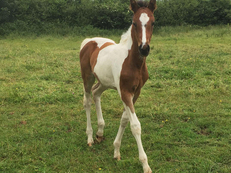 Coloured Filly Foal by Alderfarn VII to make 16:1hh