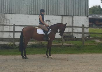 15.1hh Flashy Anglo Arab