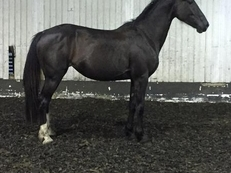 15hh 4yr old Irish Sport Horse Mare