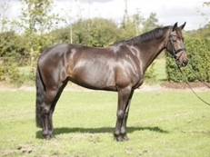 8 year-old - All Rounder - Mare - 16.1 hh - Oxfordshire