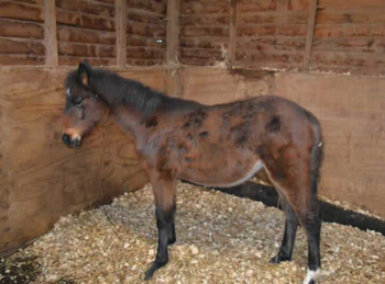 Thoroughbred - For Adoption - 15 hh - East Kent