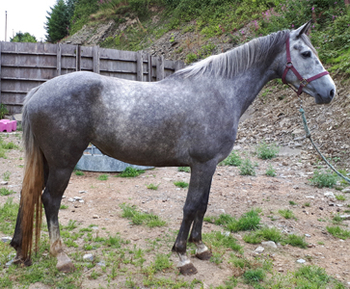Irish Sport - All Rounder - Mare - 16.1 hh - Powys