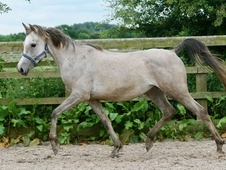 5 year-old - Arab - All Rounder - Mare - 13. 2 hh - West Yorkshire