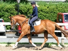 8 year-old - WARMBLOOD - All Rounder - Gelding - 17 hh - West Yor...